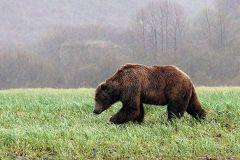Zu viele Braunbären in der Slowakei!