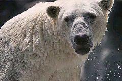 USA: Eisbär als