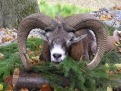 Muflon jagd angebot in Tschechishe republik