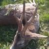 Frühbuchungsrabatt für Rehbockjagden in der Blattzeit in Ostungarn
