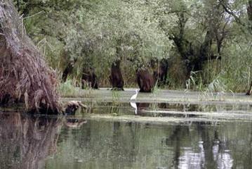 Siberreiher im seichten Wasser<small>© H.R.</small>