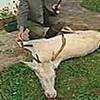 Weißer Hirsch in Kärnten erlegt