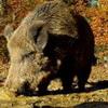 SCHWARZWILD – Jagd oder Tierhaltung?