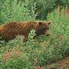 Zur Erinnerung: Braunbär totet Pilzesammler in rumänischen Karpaten - 17. Oktober 2004