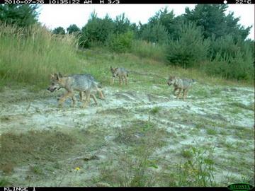 Wolfwelpen im Sachsenforst<small>&copy Klingenberger</small>