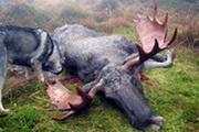 Starke Elchbullen in Norwegen